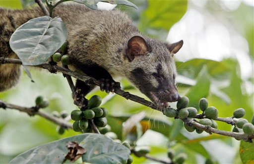 The Origin Of Kopi Luwak or Civet Coffee